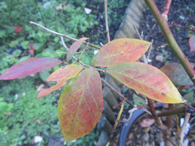 autumn blueberry leaves